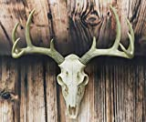 Ebros Gift Rustic Hunter Deer 10 Point Buck Skull Trophy...